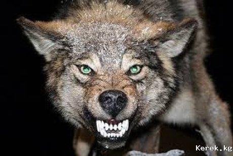 Сбежал волк с зоопарка г. Каракол